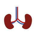 System renal with kidneys and veins