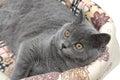 Szara kota zakończenia up horyzontalna fotografia Fotografia Stock