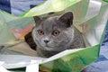 Szary kota zakończenie horyzontalna fotografia Fotografia Stock