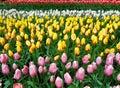 Tła tulipanu dof niezwykle pola płytcy tulipany Obrazy Royalty Free