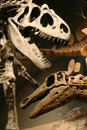 T-Rex Skeleton Royalty Free Stock Photos