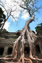 Ta prohm strangler tree roots consuming a temple roof in Stock Images