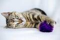 Tabby Calico Kitten Adoption P...