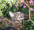 Tabby cat bares its teeth while watching a bird Royalty Free Stock Photo