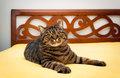 Tabby cat on bed sweet domestic lying Royalty Free Stock Images