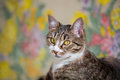 Tabby cat close up of lying with green eyes Royalty Free Stock Images