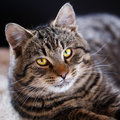 Tabby cat close up Royalty Free Stock Photo