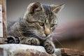 Tabby cat close up Royalty Free Stock Photo
