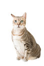 Tabby cat cute with curious expression full length portrait isolated on white background Stock Photo