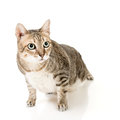 Tabby cat cute with curious expression full length portrait isolated on white background Stock Image