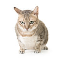 Tabby cat cute with curious expression full length portrait isolated on white background Royalty Free Stock Images