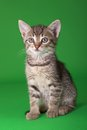 Tabby cat domestic isolated on green background Stock Images