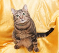 Tabby cat with funny little face sitting in chair looking up at golden background Royalty Free Stock Images