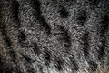 Tabby cat fur texture background. Royalty Free Stock Photo