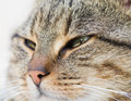 Tabby cat head close up of Royalty Free Stock Image