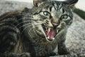 Tabby cat hissing Royalty Free Stock Photo