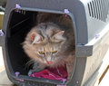Tabby cat inside a cat carrier Royalty Free Stock Photos