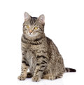 Tabby cat looking away. isolated on white background Royalty Free Stock Photo