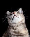 Tabby cat looking up against black hintergrund Stockbilder