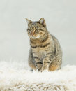 Tabby cat lovely sitting on white carpet Royalty Free Stock Image