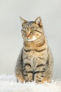 Tabby cat lovely sitting on white carpet Royalty Free Stock Photos