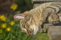 Tabby cat is lying on a bench and looking down Royalty Free Stock Images