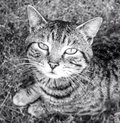 A tabby cat Royalty Free Stock Photo