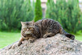 Tabby cat outdoors classic british shorthair lyging on a big stone Royalty Free Stock Image