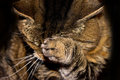 Tabby cat with paw over her face Royalty Free Stock Image
