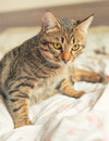 Tabby cat plays on bed with yellow eyes relaxed Stock Photo