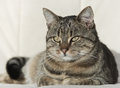 Tabby cat resting lovely on white couch Stock Photos
