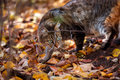 Tabby cat's portrait in autumn Royalty Free Stock Photos