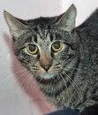 Tabby cat with a scared look guilty Royalty Free Stock Images