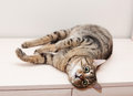 Tabby cat with a scared and unhappy lying on dresser Stock Image