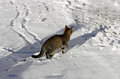 Tabby cat in the snow.