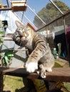 Tabby cat swipes at toy tilts head Royalty Free Stock Photo