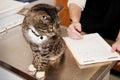 Tabby Cat the Vet Royalty Free Stock Photo