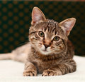 Tabby cat watching Royalty Free Stock Photo