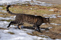 Tabby cat winter adult striped running through the snow looks like a bengal Royalty Free Stock Photography