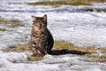 Tabby cat winter adult striped sitting in the snow Royalty Free Stock Photo