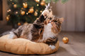 Tabby and happy cat. Christmas season 2017, new year, holidays and celebration Royalty Free Stock Photo