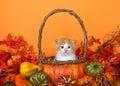 Tabby kitten in an autumn basket Royalty Free Stock Photo