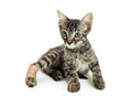 Tabby Kitten With Injured Paw