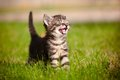 Tabby kitten meowing Stock Photo
