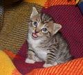 Tabby kitten portrait of cute Stock Images