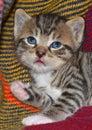 Tabby kitten portrait of cute Stock Photos