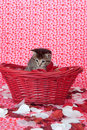Tabby kitten in red basket Royalty Free Stock Photos