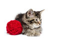 Tabby kitten with yarn cute baby american shorthair red on white background Stock Photography