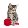 Tabby kitten with yarn cute baby american shorthair red on white background Stock Image