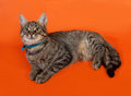 Tabby kitten with yellow eyes in blue collar lying on orange Royalty Free Stock Photo